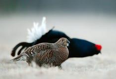 Μαύρος αγριόγαλλος Lekking Στοκ φωτογραφία με δικαίωμα ελεύθερης χρήσης