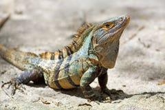 μαύρος ακανθωτός iguana που πα Στοκ φωτογραφίες με δικαίωμα ελεύθερης χρήσης