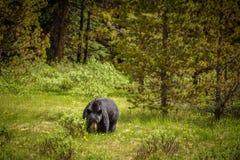 Μαύρος αντέξτε στα δάση του εθνικού πάρκου Banff και ιασπίδων, Καναδάς Στοκ φωτογραφία με δικαίωμα ελεύθερης χρήσης