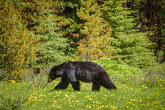 Μαύρος αντέξτε στα δάση του εθνικού πάρκου Banff και ιασπίδων, Καναδάς Στοκ εικόνα με δικαίωμα ελεύθερης χρήσης