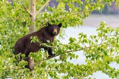 Μαύρος αντέξτε την οικογένεια σε ένα δέντρο Στοκ φωτογραφία με δικαίωμα ελεύθερης χρήσης