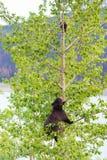 Μαύρος αντέξτε την οικογένεια σε ένα δέντρο Στοκ Εικόνα