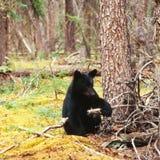 Μαύρος αντέξτε το αμερικανικό Yukon Καναδάς taiga Ursus Στοκ Εικόνα