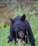 Μαύρος αντέξτε Cub κοντά σε Banff, Αλμπέρτα στοκ φωτογραφία με δικαίωμα ελεύθερης χρήσης