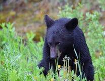 Μαύρος αντέξτε cub κοντά στο Lake Louise, Αλμπέρτα στοκ εικόνες