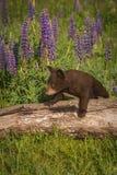 Μαύρος αντέξτε Cub τα αμερικανικά βήματα Ursus πέρα από το κούτσουρο Στοκ εικόνες με δικαίωμα ελεύθερης χρήσης