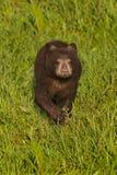 Μαύρος αντέξτε Cub τα αμερικανικά τρεξίματα Ursus προς τα εμπρός μέσω της χλόης Στοκ Εικόνες
