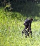 Μαύρος αντέξτε cub Στοκ Εικόνες