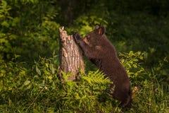 Μαύρος αντέξτε Cub Ursus αμερικανικό προμηθεύει με ζωοτροφές στο κολόβωμα Στοκ φωτογραφία με δικαίωμα ελεύθερης χρήσης
