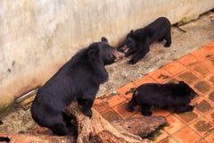 Μαύρος αντέξτε Cubs αρκούδων το παιχνίδι κοντά στον τοίχο εμποδίων στο ζωολογικό κήπο Στοκ Εικόνες