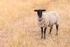 Μαύρος-αντιμέτωπα πρόβατα που στέκονται στο ξηρό λιβάδι Στοκ εικόνα με δικαίωμα ελεύθερης χρήσης