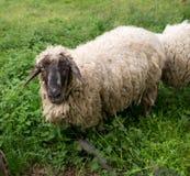 Μαύρος-αντιμέτωπα πρόβατα Στοκ φωτογραφία με δικαίωμα ελεύθερης χρήσης
