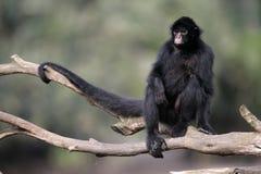 Μαύρος-αντιμέτωπος πίθηκος αραχνών, Ateles chamek στοκ εικόνες με δικαίωμα ελεύθερης χρήσης