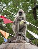 μαύρος αντιμέτωπος πίθηκο& στοκ εικόνες με δικαίωμα ελεύθερης χρήσης