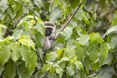 Μαύρος αντιμέτωπος vervet πίθηκος στο φυλλώδες δέντρο, Ουγκάντα Στοκ Φωτογραφία