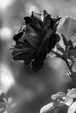 Μαύρος αυξήθηκε λουλούδι μεγάλο, μονοχρωματικός Στοκ εικόνες με δικαίωμα ελεύθερης χρήσης