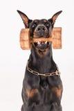 Μαύρος αλτήρας εκμετάλλευσης σκυλιών με την κατάρτιση κρότου Στοκ φωτογραφίες με δικαίωμα ελεύθερης χρήσης