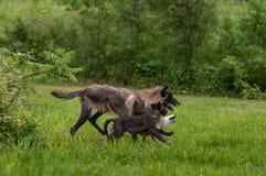 Μαύρος γκρίζος λύκος φάσης (Λύκος Canis) και τρέξιμο κουταβιών Στοκ φωτογραφία με δικαίωμα ελεύθερης χρήσης