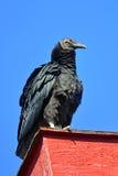 μαύρος γύπας Στοκ Εικόνες