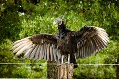 μαύρος γύπας Στοκ Φωτογραφίες