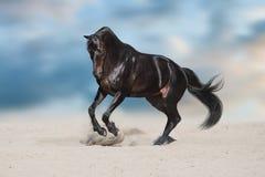 Μαύρος επιβήτορας στην έρημο Στοκ εικόνες με δικαίωμα ελεύθερης χρήσης