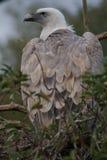 μαύρος ευρωπαϊκός γύπας monachus Στοκ εικόνες με δικαίωμα ελεύθερης χρήσης