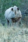 μαύρος εχθρικός ρινόκερο στοκ φωτογραφία