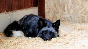 Μαύρος ζωολογικός κήπος αλεπούδων σε επαφή Κατοικίδια ζώα στο αγρόκτημα απόθεμα βίντεο
