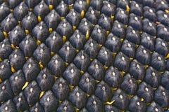 μαύρος ηλίανθος σπόρου στοκ φωτογραφία με δικαίωμα ελεύθερης χρήσης
