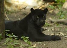 μαύρος ιαγουάρος στοκ εικόνα με δικαίωμα ελεύθερης χρήσης