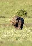 μαύρος διακυβευμένος νότος ρινοκέρων της Αφρικής Στοκ Φωτογραφίες