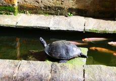 Μαύρος-διογκωμένη ινδική χελώνα στη λίμνη Στοκ εικόνα με δικαίωμα ελεύθερης χρήσης