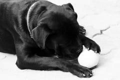 Μαύρος κάλαμος Corso σκυλιών φωτογραφία μαύρο λευκό στοκ εικόνες με δικαίωμα ελεύθερης χρήσης