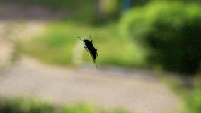 Μαύρος κάνθαρος στο παράθυρο φιλμ μικρού μήκους