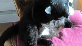 Μαύρος καθαρισμός γατών απόθεμα βίντεο