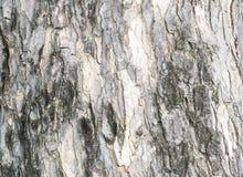 Μαύρος και γκρίζος φλοιός του υποβάθρου σύστασης δέντρων Στοκ Εικόνα