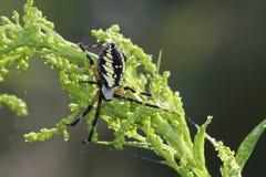 Μαύρος-και-κίτρινη αράχνη κήπων (aurantia Argiope) Στοκ Εικόνα