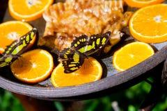 Μαύρος-και-κίτρινο να ταΐσει πεταλούδων με τα πορτοκάλια Στοκ Φωτογραφίες