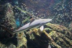 Μαύρος καρχαρίας πτερυγίων Στοκ εικόνες με δικαίωμα ελεύθερης χρήσης