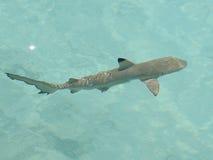 μαύρος καρχαρίας σκοπέλων που τοποθετείται αιχμή στοκ εικόνα