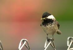 Μαύρος-καλυμμένο σκουλήκι φρακτών Chickadee σκαρφαλωμένο πουλί στο στόμα Στοκ φωτογραφίες με δικαίωμα ελεύθερης χρήσης