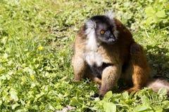 Μαύρος κερκοπίθηκος, Eulemur μ macaco, θηλυκό με τις νεολαίες Στοκ Φωτογραφίες