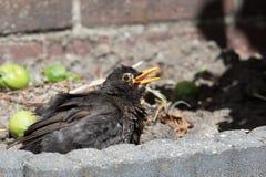μαύρος κοινός πουλιών Στοκ Εικόνες