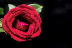 μαύρος κόκκινος ανασκόπησης αυξήθηκε Όμορφο άνθος με το πέταλο βελούδου Καυτό ρόδινο πρότυπο εμβλημάτων λουλουδιών με το διάστημα Στοκ Φωτογραφία
