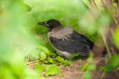 Μαύρος κόρακας στη χλόη στο δάσος Στοκ Εικόνες