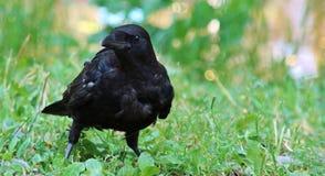 μαύρος κόρακας Στοκ φωτογραφία με δικαίωμα ελεύθερης χρήσης