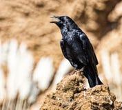 μαύρος κόρακας Στοκ Φωτογραφία