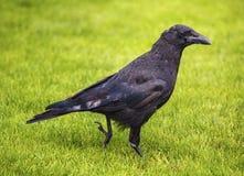 μαύρος κόρακας Στοκ Εικόνες