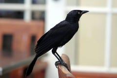 μαύρος κόρακας Στοκ φωτογραφίες με δικαίωμα ελεύθερης χρήσης