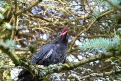 Μαύρος κόρακας, Corvus, corone Το Corvus cornix είναι ένα ευρασιατικό πουλί SP Στοκ φωτογραφία με δικαίωμα ελεύθερης χρήσης